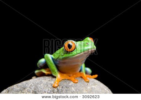 Frog On A Rock Isolated On Black