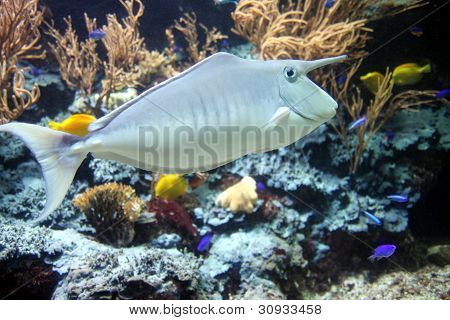 Long nose tropical fish stock photo stock images bigstock for Big nose fish