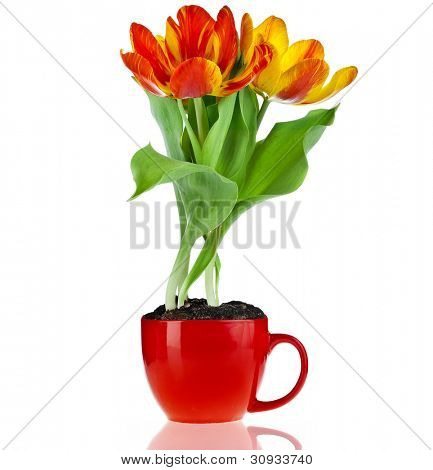 tulip bouquet flower in a red cup with copyspace isolated on white background