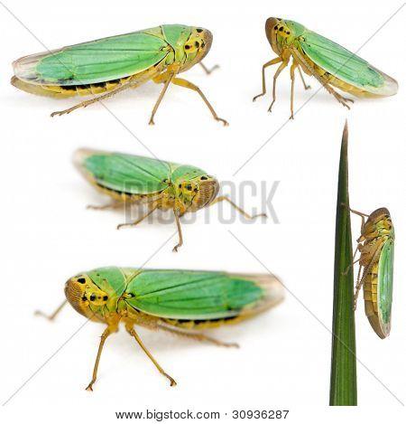 Green Leafhoppers - Cicadella viridis