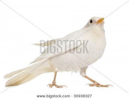 White Common Blackbird - Turdus merula