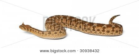 Saharan horned viper - Cerastes cerastes, poisonous, white background
