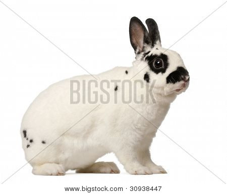 Dalmatian rabbit, Oryctolagus cuniculus, 4 months old