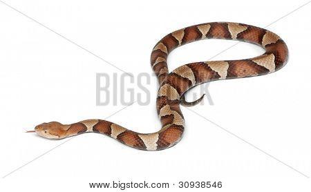 Mocassim cobra ou highland Copperhead - Agkistrodon contortrix, fundo branco, venenoso