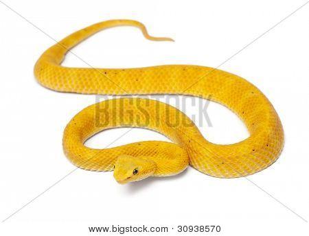 Gele wimper Viper - Bothriechis schlegelii, giftige, witte achtergrond