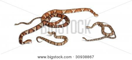 male and female and babies Copperhead snake or highland moccasin - Agkistrodon contortrix, poisonous, white background