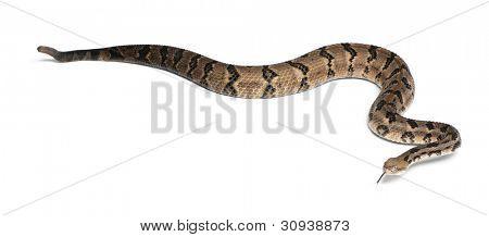 Cascavel - Crotalus horridus atricaudatus, venenoso, branco fundo de madeira