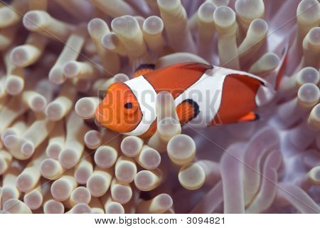 Anemone And Clownfish