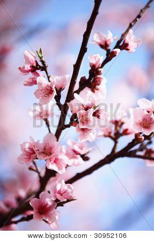 Pink plum blossom against blue sky