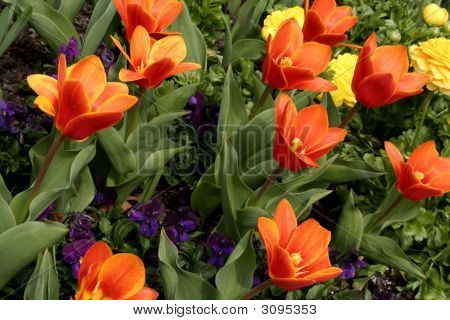 Tulips, Marigolds And Pansies