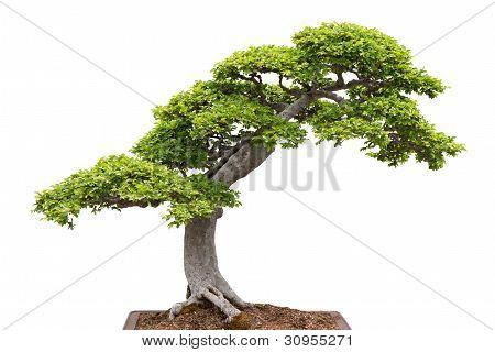 Green Bonsai Tree On White Background