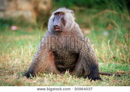Portrait Of A Baboon