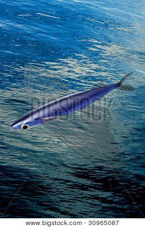 Atlantic Flyingfish