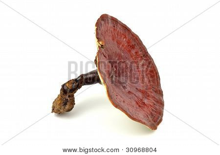 Giant Lingzhi isolated on white background