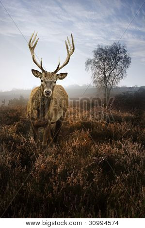 Foggy Misty Autumn Forest Landscape At Dawn With Red Deer Stag