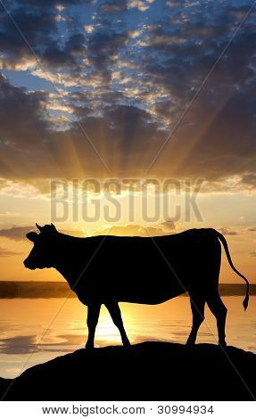 Cow On Sunset