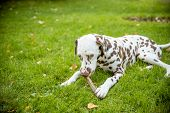 Adorable Dalmatian Dog Outdoors In Summer.dalmatian Dog On The Grass On A Sunny Autumn Day.adorable  poster