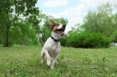 Adorable Jack Russell Terrier Dog Playing In Park poster