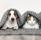 Dog and cat together. Dog hugs a cat under the rug at home. Friendship of pets poster
