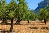 picture of olive trees  - Olive trees from Majorca soil from mediterranean islands of Spain - JPG