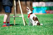 Brown And White Border Collie During Obedience Training, Sitting Next To Owner poster