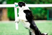 Black And White Border Collie During Obedience Training Jumping And Catching Green Ball poster