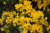 Golden Yellow Evergreen Gorse Bush Flowering On A Spring Day. poster