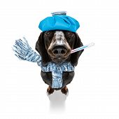 Sick And Ill Dachshund Sausage Dog  Isolated On White Background With Ice Pack Or Bag On The Head, W poster