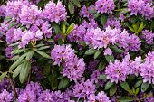Evergreen Shrub Rhododendron Blooms Beautiful Purple Flowers. Close-up. poster