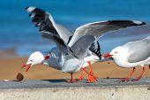 Seagulls Fighting Over A Brownie. Seagulls Stealing Food In Abel Tasman National Park, New Zealand poster