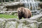 Lets Go Wild For Wildlife. Undomesticated Animal Species Or Wildlife. Wild Brown Bear In Natural Env poster