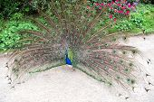 Trying To Attract Peahen. Peacock Bird Showing Its Feathers. Beautiful Peafowl Bird On Summer Day. M poster