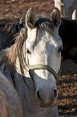 picture of lipizzaner  - Graceful White Horse  looking at the camera - JPG