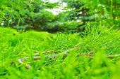 Closeup Of Green Leaves Of Thuja As Nature Background Or Wallpaper Texture. Macro View Of Green Thuj poster