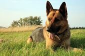 foto of alsatian  - Portrait of a beautiful german shepherd or alsatian dog lying in the grass  and observation - JPG