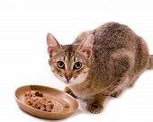 picture of bengal cat  - Beautiful bengal cat eats cat - JPG