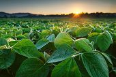 Soy Field Lit By Early Morning Sun. Soy Agriculture poster