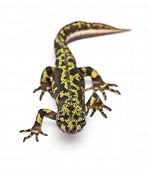 foto of newt  - Marbled Newt  - JPG