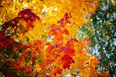 Autumn Maple Leaves Close-up. Colorful Maple Tree On Sunny Bokeh Background. Amazing Variegated Foli poster