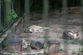 Pack Of Wolves Sleeping In A Zoo Enclosure, Poland poster