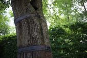 Trunk Of A Tree. Strengthening The Trunk Of An Old Tree. Metal Ring Around A Tree Trunk. Catherine P poster