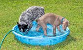 Two dogs playing in a kiddie pool, one diving her head under water, the other watching the splashes; poster