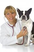 stock photo of veterinary clinic  - female vet doctor with dog boston terrier - JPG