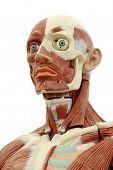 stock photo of human body  - Human anatomy  - JPG