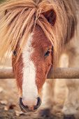 Pony Horse- Beautiful Young Pony Horse On A Farm Outdoors - Pet Animal poster