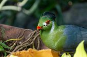 Guinea Turaco (tauraco Persa), Also Known As The Green Turaco Or Green Lourie Close Up In The Sunlig poster