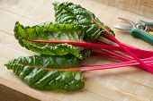 Fresh picked red stemmed chard and leaves   poster
