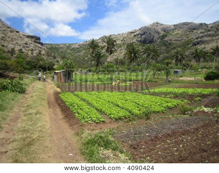 Subsistence Agriculture In Rodrigues