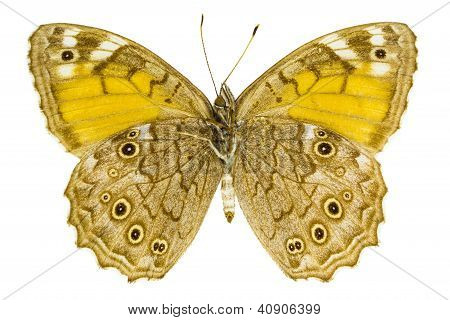 Kirinia Roxelana (lattice Brown)