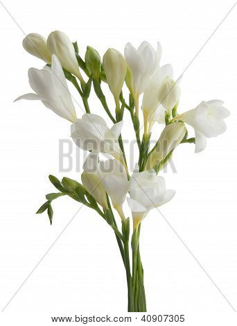 white flowers of freesia in posy